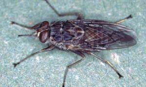 Все, что нужно знать о мухах цеце