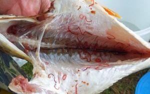 Виды паразитов, встречающихся в рыбе и заболевания с ними связанные