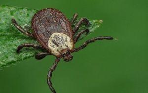 Какие болезни, опасные для человека, могут переносить клещи?