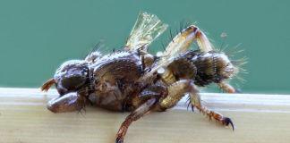 Насколько велика опасность лосиной мухи для человека?