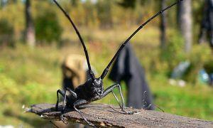 Вся правда о жуке – усаче
