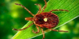 Особенности образа жизни и паразитирования клещей