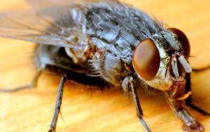 Что заставляет мух кусаться