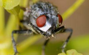 Что делать при укусе вольфартовой мухи?