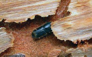 Знакомьтесь: вредитель древесины жук короед