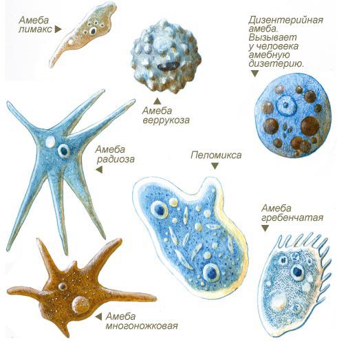 Лямблии и амебы
