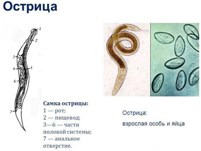 Острицы являются возбудителем энтеробиоза у людей