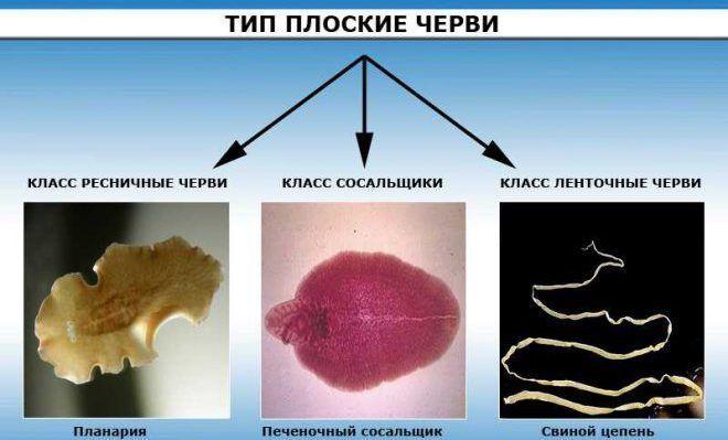 Плоские ленточные черви