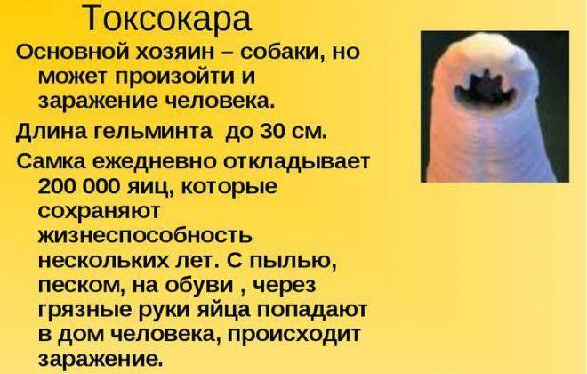 Токсокары в человеке