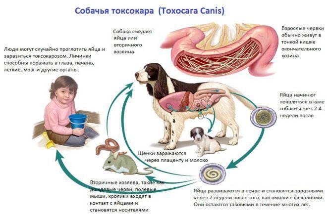 Жизненный цикл собачьей токсокары