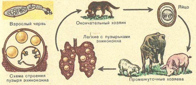 Развитие эхинококка