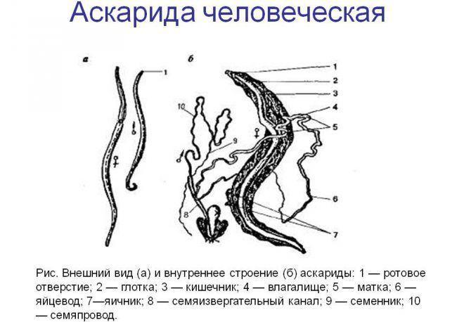 Самка аскарида