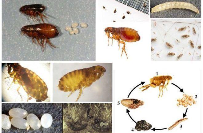 Блохи, их яйца и личинки