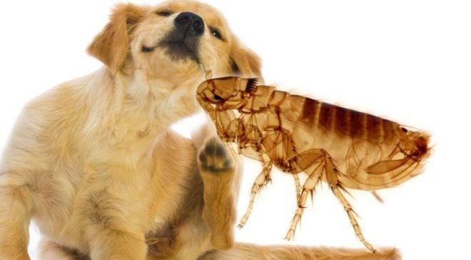 Домашние питомцы могут заносить паразитов с улицы