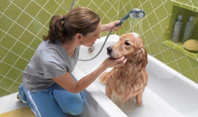 Домашних животных требуется несколько раз помыть шампунем