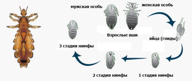 Головные вши и гниды