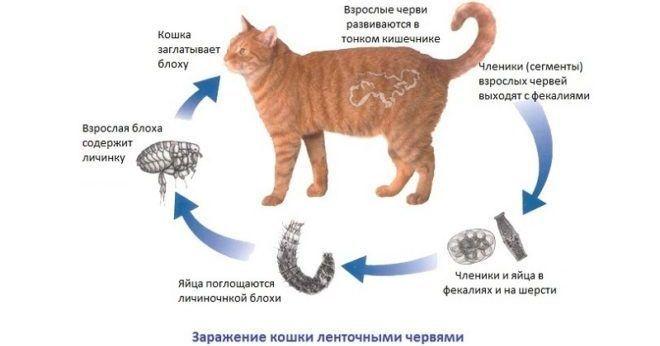 Ленточные глисты у кошек