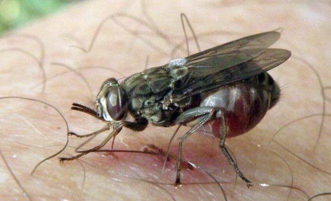 Муха цеце своим укусом заражает человека сонной болезнью