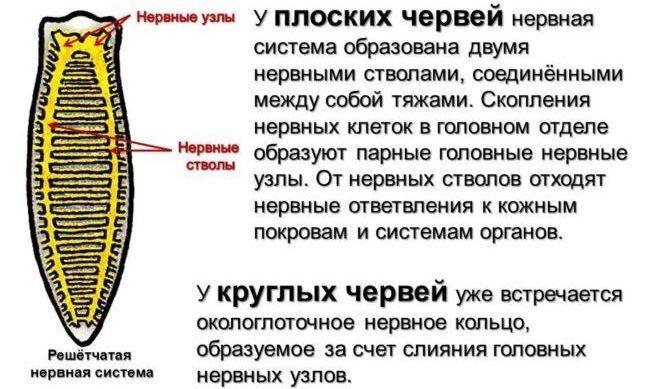 Нервная система паразитов