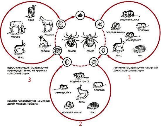 Особенности передачи возбудителя туляремии в зависимости от метаморфоза клеща