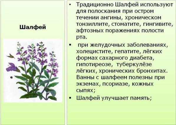 Шалфей - лечебные свойства
