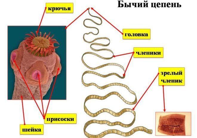 Схема строения бычьего цепня