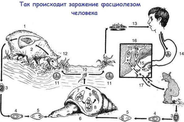 Схема заражения фасциолезом