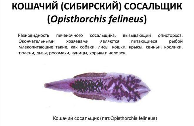 Сибирский сосальщик