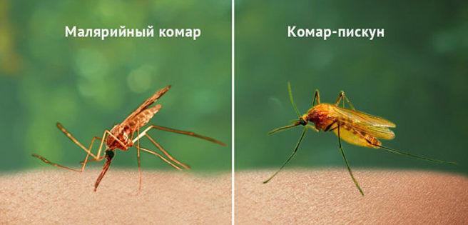 Внешний вид молярийного комара