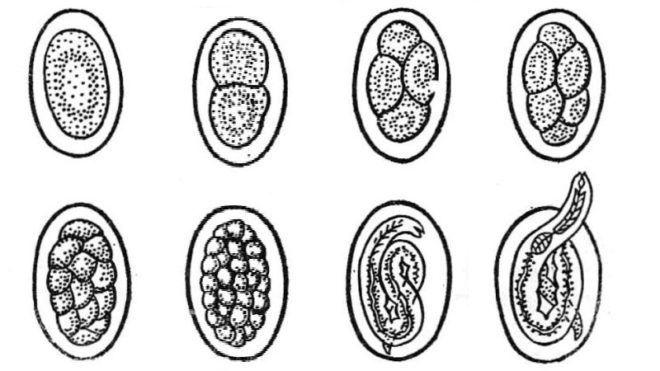 Яйца анкилостомы