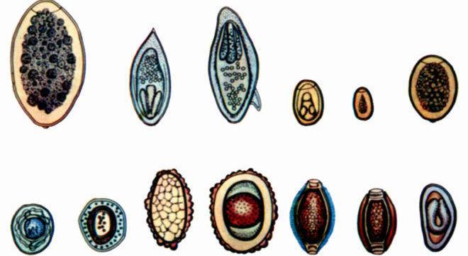 Яйца паразитов которые можно рассмотреть только через микроскоп