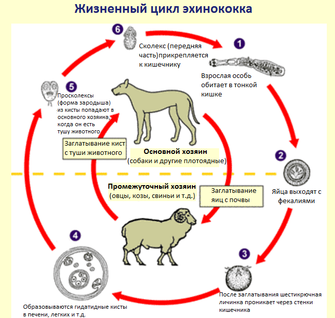Жизненный цикл эхинококков
