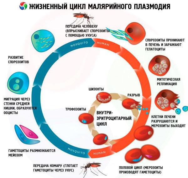 Жизненный цикл молярийного комара