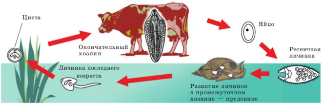 Размножение сосальщиков