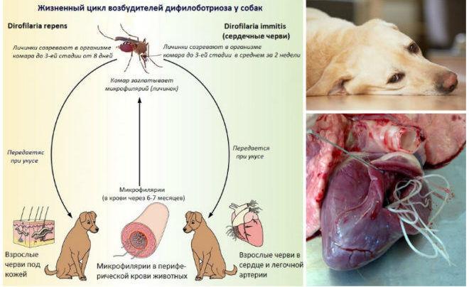 Дирофилляриоз у собак