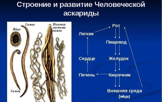 Характеристика аскарид