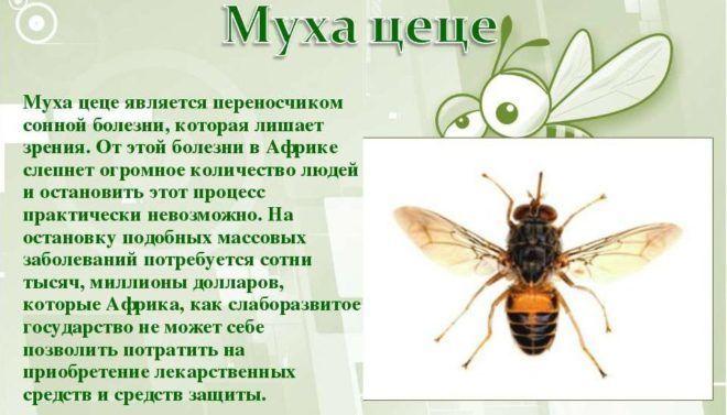 Муха цеце является переносчиком сонной болезни