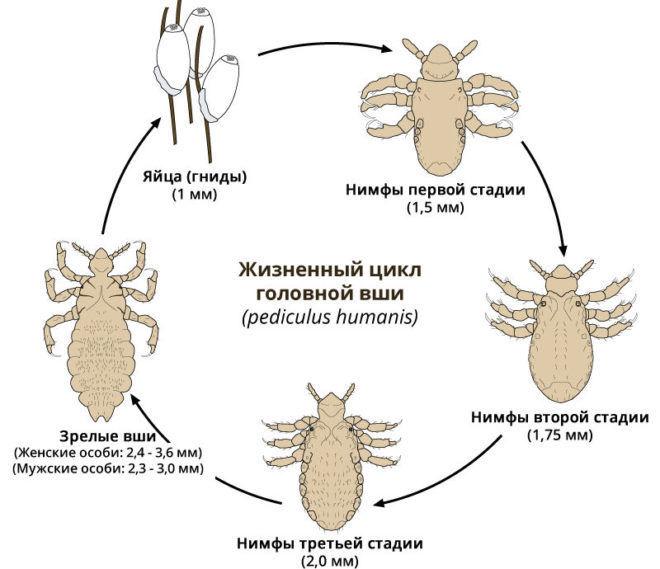 Схема жизненного цикла головной вши