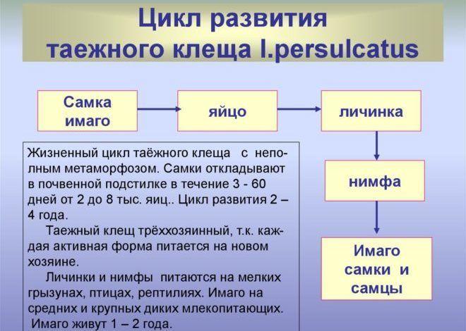 Цикл развития таежного клеща