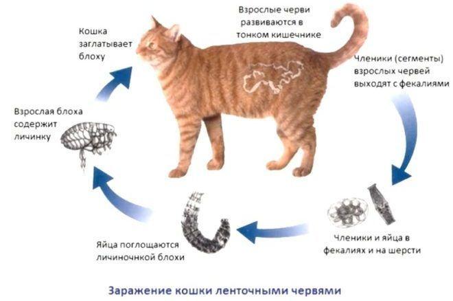 Яйца глистов у кошек