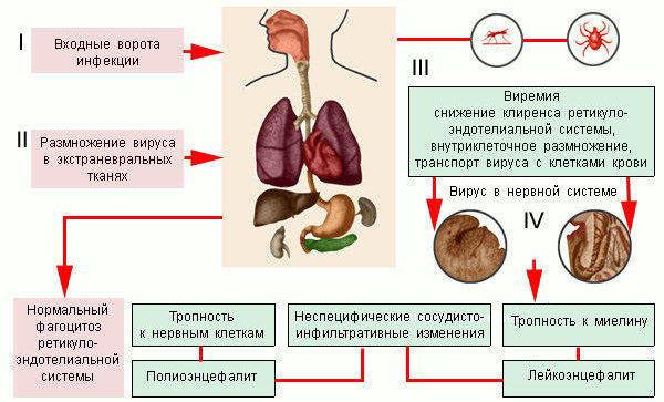Вирус энцефалит