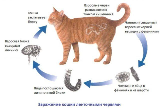 Откуда у домашней кошки могут быть глисты