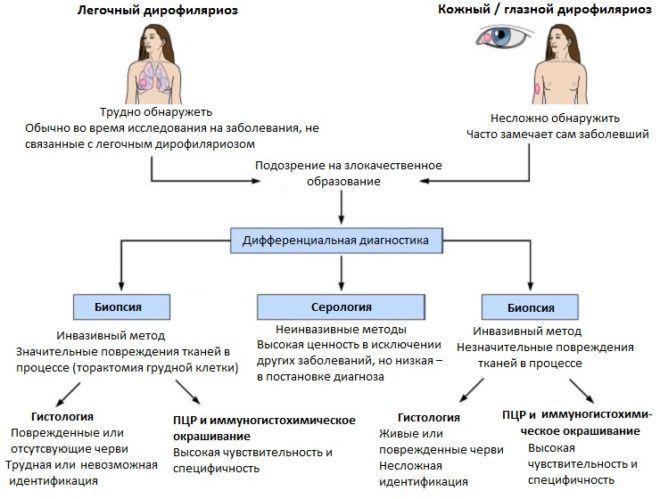 Схема диагностики дирофиляриоза